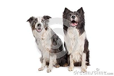 Border Collie and Australian Shepherd