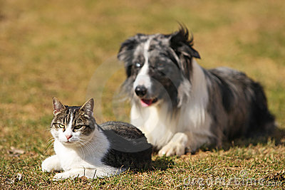 Border collie behind a cat