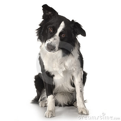 Free Border Collie Breed Stock Images - 2314054