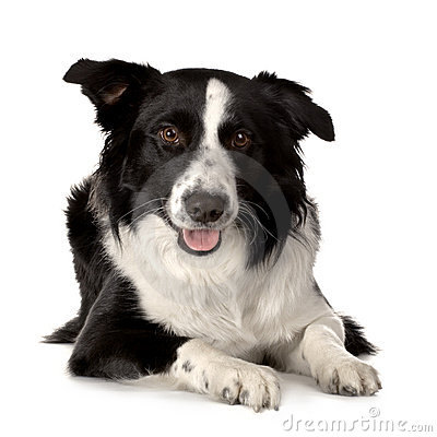 Free Border Collie Breed Royalty Free Stock Photo - 2314065