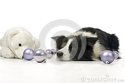 Border collie and christmas decorations