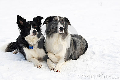 Border collie couple