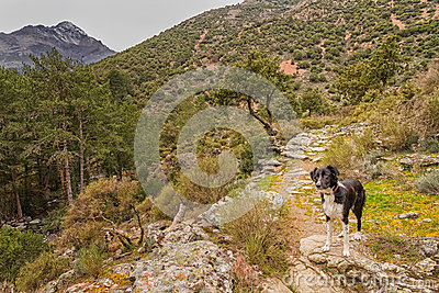 Border Collie dog in Corsica