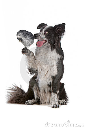 Border collie dog and a grey parrot