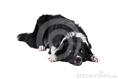 Border collie dog, isolated on the white