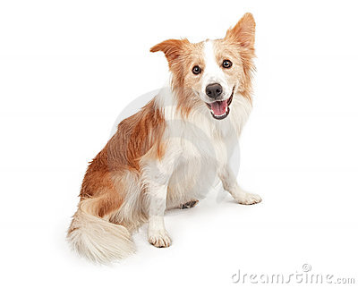 Border Collie Dog Looking Looking Happy