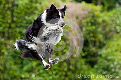 Border collie dog in midair after jumping
