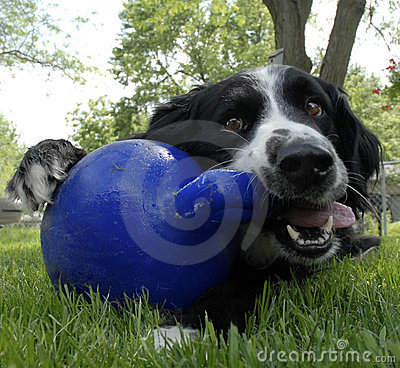 Border Collie Dog playing with blue ball