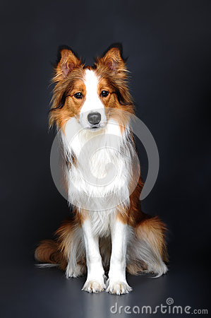 Border collie dog portrait on dark background