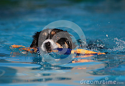 Border Collie Dog swimming with his toy