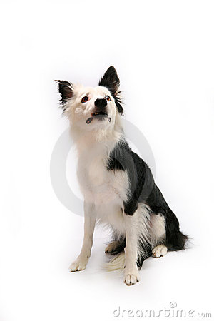 Border collie dog on white
