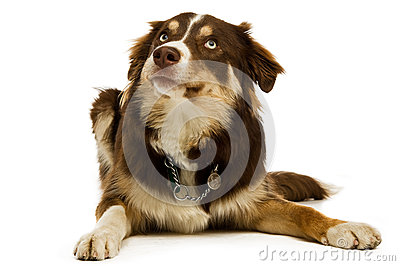 Border Collie isolated on a white background