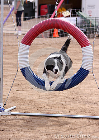 Border Collie jumping through ring