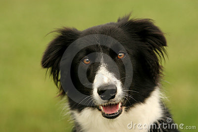 Border collie look
