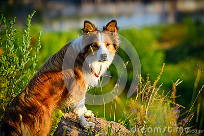 Border collie in the morning light, portrait