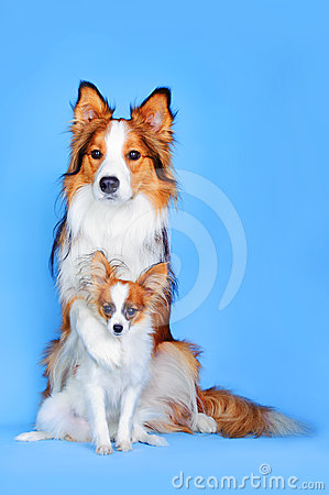 Border collie and Papillon dogs in blue