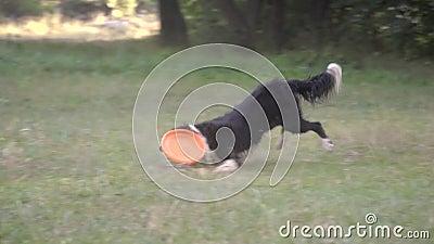 Border collie pies łapie tocznego pomarańczowego frisbee na zielonej trawie i niesie dziewczyny treser który znowu zdjęcie wideo