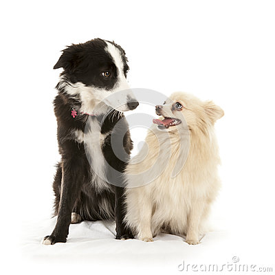 Border-collie and pomeranian dog