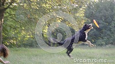 Border collie próby łapać latającego frisbee skakać nad plecy dziewczyna treser, zwolnione tempo zbiory wideo