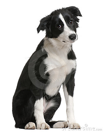 Border Collie puppy, 4 months old, sitting