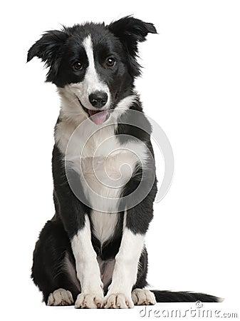 Border Collie puppy, 4 months old, sitting