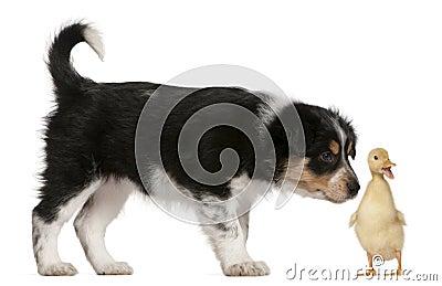 Border Collie puppy, 6 weeks old