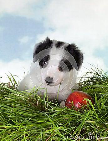 Border collie puppy in grass