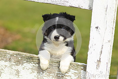 Border Collie Puppy Resting Paws on Rustic White Wooden Fence II