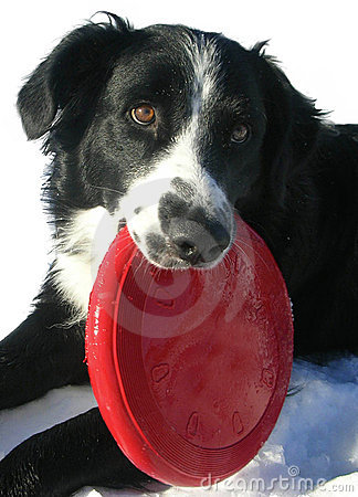 Border Collie with Red Frisbee