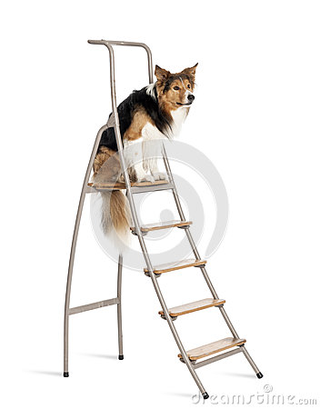 Border Collie sitting on ladder