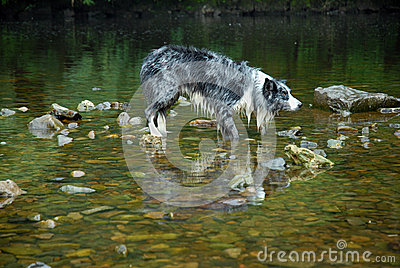 Border Collie stood in a River