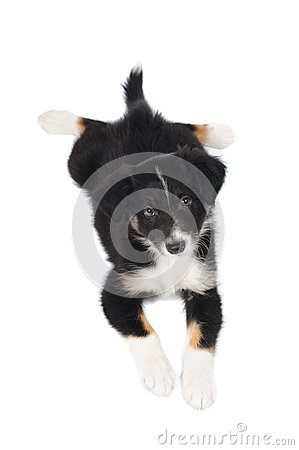 Border Collie tricolor puppy lies on the white