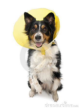 Border collie wearing a space collar on hind