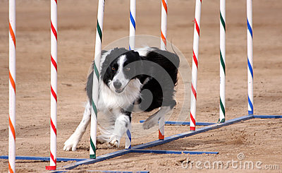 Border Collie weaving through poles