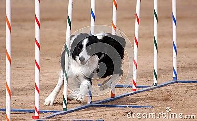 Border Collie weaving through poles