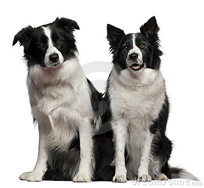 Free Border Collies 1 And 9 Years Old, Sitting Stock Photos - 23088603