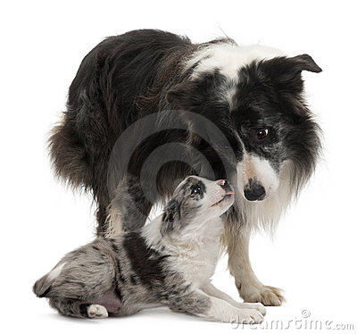 Free Border Collies Interacting Stock Image - 18258321
