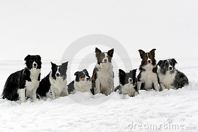 Border collies pack