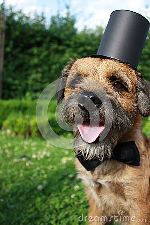 Border Terrier Dog with bow tie and top hat