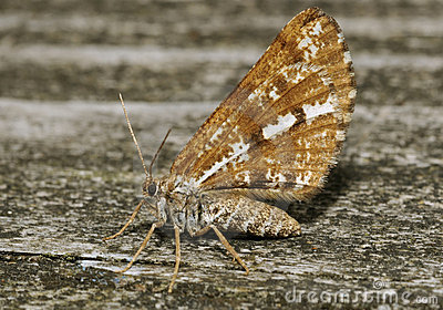 Bordered White Moth Royalty Free Stock Photography - Image: 20346917