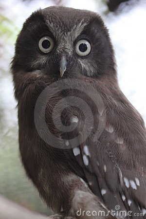 Free Boreal Owl Stock Images - 20350374