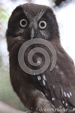 Boreal owl Stock Photo