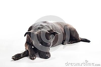 Black dog lying on back - photo#8