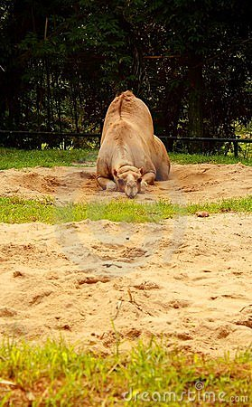 Free Boring Camel Lying On The Sand Stock Images - 19957454