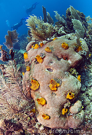 Boring sponge on brain coral