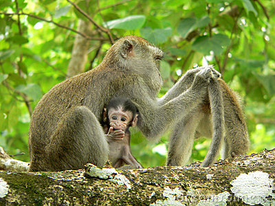 Borneo. Long Tail Macaque
