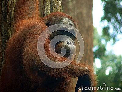 Borneo. Orangutan Hanging & Staring
