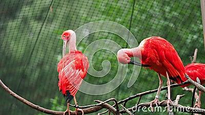Borracha Eudocimus no galho de árvores Quatro aves vermelhas brilhantes Scarlet Ibis video estoque