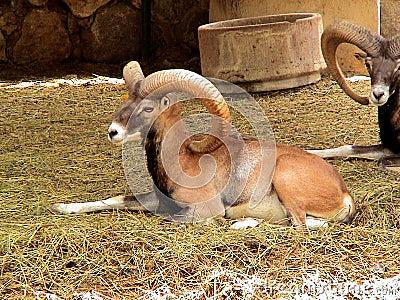 Borregomuflon