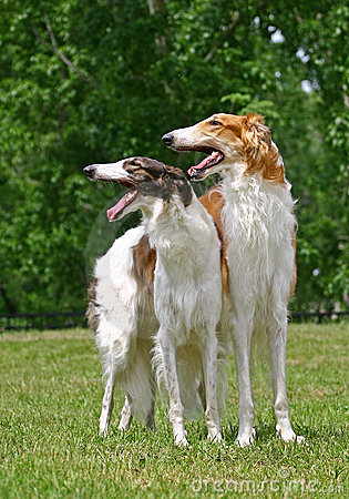 Free Borzoi Royalty Free Stock Photography - 11839487